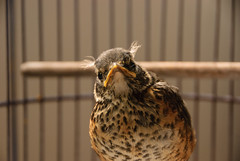 Ray (~gio~) Tags: rescue baby bird face robin spring beak feather cage save tuft speckled cheep nestling