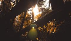 IMG_7498 (dafloct) Tags: chile parque naturaleza macro tree nature canon atardecer ecuador afternoon arboles zoom air free concepcion t5 urbano biobio region aire libre tarde octava hobbie