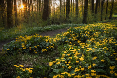 Yellow forest floor (helena678) Tags: wood trees sunset flower yellow forest evening spring sweden walk may sverige pathway marshmarigold calthapalustris kingcup woodanemone