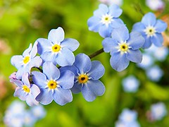 Forget-me-not (Martha-Ann48) Tags: flowers blue plants yellow garden petals blossoms stamens tiny forgetmenot blooms
