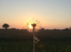 The clock at sunset (Ginni B) Tags: light sunset summer sun clock field evening norfolk seed dandelion seeds fields shining