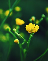 Yellow May (ukasz Babula) Tags: flowers plant flower green nature yellow countryside spring nikon blossom bokeh outdoor may poland depthoffield bloom 1855 nikkor depth d60