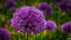 Allium 'Globemaster' (BraCom (Bram)) Tags: flower holland netherlands closeup canon spring dof purple bokeh widescreen nederland globemaster nl 169 lente allium paars bloem zuidholland voorjaar southholland scherptediepte canonef24105mm sierui nieuwetonge bracom canoneos5dmkiii bramvanbroekhoven