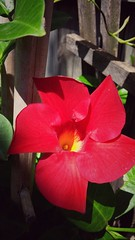 Red (joditbobo) Tags: red floral sunshine day22 redflower wecanmakeitmay artteacherphotoaday