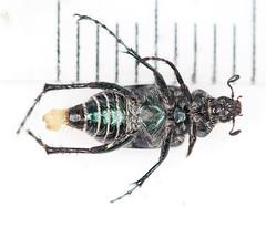 Macrodactylus sp.2014-10-20CSNGA_2798 c (mcclarinj) Tags: ecuador jim napo scarabaeidae mcclarin macrodactylus cosanga