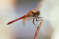 Resting Spot (praecordiaCore) Tags: cactus macro insect dragonfly bokeh aloevera colorgrading