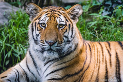 Tiger / Tigre (Doris & Michael S.) Tags: tiergarten tiergartennrnberg tiger sonyilcaalpha77ii tiere tamronsp150600mm animals sonyilca77m2 tigre zoo