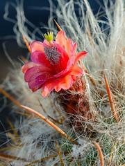 Fler de Viejito, Oreocereus leucotrichus (Andres Puiggros) Tags: chile red cactus flower verde green yellow blood earth flor laguna amarilla roja arica camarones camia oreocereusleucotrichus