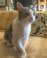Sweet Wendy (A.Davey) Tags: cat wendy greyandwhitecat
