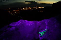 Euscorpius sp. on UV light_Trieste in the background (bortozz) Tags: city macro toxic uv fluorescence trieste carso uvlight xanthoria parietina strangeanimal wideanglemacro euscorpius