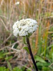 Craspedia uniflora (dracophylla) Tags: newzealand asteraceae codfishisland craspediauniflora whenauhoa