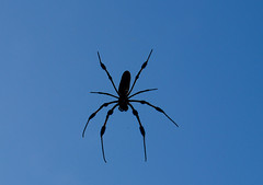 SPIDER SILHOUETTE (concep1941) Tags: nature garden woods outdoor swamps webs nephilaclavipes insectcatcher arachnidclass