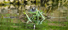 Coot Nest (CJPhotography UK) Tags: wildlife nature animal bird duck coot nest natur london kew kewgardens lake pond water waterfowl wildfowl eggs parents green blue grass sticks twigs wood sun spring sunlight light reflection canon park outdoors garden