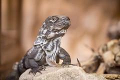 2016-07-08-17h59m02.BL7R5329 (A.J. Haverkamp) Tags: canonef100400mmf4556lisiiusmlens amsterdam zoo dierentuin httpwwwartisnl artis thenetherlands guatemalaansestekelstaartleguaan ctenosaurapalearis guatemalanspinytailediguana