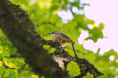 Young Eurasian nuthatch (Steenjep) Tags: lund bird herning fugl sittaeuropaea eurasiannuthatch sptmejse