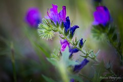 Wild flower 6. (Bouhsina Photography) Tags: wild flower color macro nature canon wow plante outside bokeh morocco maroc couleur ttouan sauvage tetuan 2016 brillant ef100macro bouhsina 5diii bouhsinaphotography