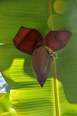 Banana flower peeks out from torn leaf (jungle mama) Tags: banana leaf bananaflower red vein