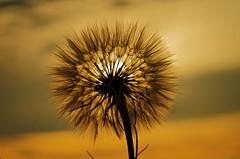 sunset (stempel*) Tags: polska poland polen polonia gambezia pentax k30 50mm sunset zachd soca kwiat flower dmuchawiec