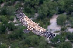 Gnsegeier ber der Verdonschlucht (hardi_630) Tags: geier gnsegeier vulturegriffon griffonvulture frankreich france provence verdon gorgeduverdon routedescrtes gypsfulvus