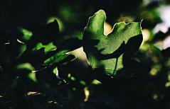 Vom Schattenplatz aus die Strahlungsstrke berechnen. (Manuela Salzinger) Tags: shadow summer tree evening abend leaf sommer blatt schatten baum