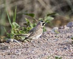 Roadside Forager (ardeth.carlson) Tags: bird nature colorado hornedlark pawneenationalgrasslands