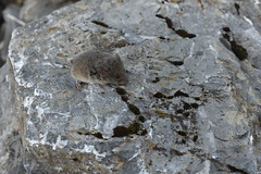 Snow vole in its habitat (timothebonnet) Tags: rodent vole scree