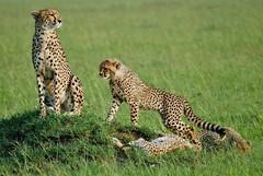Cheetah Mother and Three Cubs (Susan Roehl) Tags: kenya2015 masaimaranationalreserve kenya eastafrica mothercheetah cubs savannah resting keepinganeyeoutforameal animals outdoors mammal sueroehl naturalexposures photographictours panasonic lumixdmcgh4 100300mmlens ngc