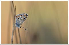 Argus bleu (isabelle.bienfait) Tags: butterfly papillon dew ambiance sigma105 rose lpidoptres argusbleu nikond5100