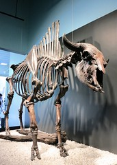 Antique bison skeleton at La Brea Tar Pits (Ruth and Dave) Tags: labreatarpits labrea la losangeles antiquebison skeleton bones museum exhibit iceage bisonantiquus