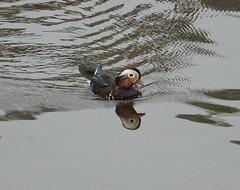 Naturalised interloper (Phil Gayton) Tags: mandarin duck aixgalericulata anatidae river dart totnes devon uk aquaticbird