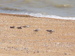 Eastbourne Locals (Kylie Stevens) Tags: airbourne13august2016 airshow avgeeks eastbourne eastbourneairshow ebairshow seaside beach locals seagulls