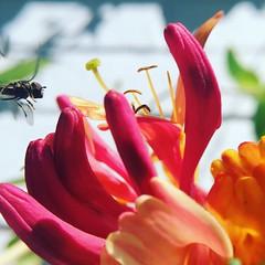 Macro honeysuckle and bee (Fiona in Eden) Tags: flower bee honeysuckle macro pink booked scented garden