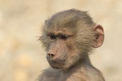 Mantelbaviaan - Emmen (Jan de Neijs Photography) Tags: mantelbaviaan baviaan baboon hamadryasbaboon aap emmen dierenparkemmen dierentuin tamron tamron150600