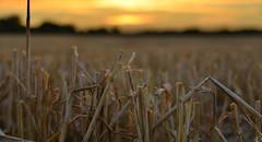 Straw at sunset
