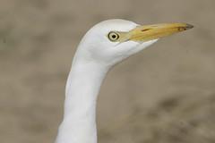 Cattle egret (Bubulcus ibis) (www.clivetemple.com) Tags: egret uae dubai birds nature bird