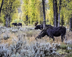 Bull Moose standing between two young bulls and his cow. (Hawg Wild Photography) Tags: moose jackson hole wyoming wildlife grand teton national park tetons nature terry green nikon