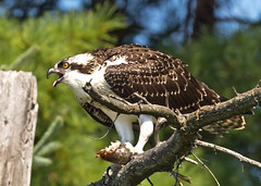 Osprey story 1: All right, all right, I drop my fish and dance for you!!!! (Mala Gosia) Tags: kajtek malagosia sep82016 eaglelake mikisewprovincialpark ontario canada outdoor canoneos6d landscape water lake trees osprey bird nest depop
