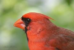 Cardinal portrait (NaturewithMar) Tags: northern cardinal bird macro