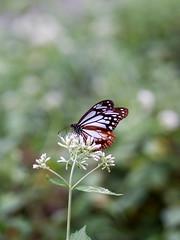 (Polotaro) Tags: mzuikodigital45mmf18 butterfly insect bug nature olympus epm2 pen zuiko          9