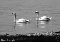Les Cygnes (florinephotographies) Tags: animal animaux animals cygne faune monochrome blackandwhite noiretblanc oiseauaquatique oiseau bnw bnwphotography