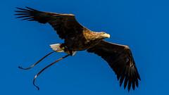 2016-10-04 Thirsk-6646.jpg (Elf Call) Tags: 120300 prey nikon hawk vulture birds owl eagle kookaburra psion d7200 hill