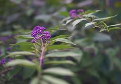 DSC04019 (Old Lenses New Camera) Tags: sony a7r schneider schneiderkreuznach xenon 5cm 50mm f2 plants garden beautyberry