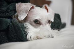 I'm trying to sleep and stay warm here! (Kathryn Willis) Tags: dog beard canine schnauzer sleepy blanket loki miniatureschnauzer whiteschnauzer