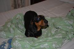 _141203_3740 (verbeek_dennis) Tags: dachshund tax kaapo dashond myrkoira  gravhund jazvek tksa