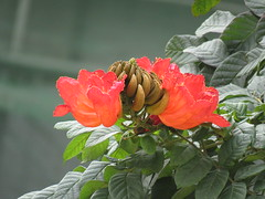 fire flower 03 (oneroadlucky) Tags: red plant flower tree nature      spathodeacampanulata