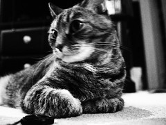 pixie noir (Raccoon Photo) Tags: pet cats pets cute love animal animals cat fur paw furry feline noir kittens pixie domestic kitties paws companions love animals eyes cat pixie kamalani domestic ball cat cats kittynoir fur adorable stardust adopted