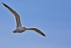 0838L&D14b (preacher43) Tags: nature birds river mississippi illinois lock dam gull 14 iowa ringbilled