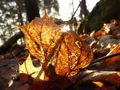 Leaves on Fire (dhussels) Tags: light orange sun forest leaf lensflare sunburst blatt wald bltter fallenleaves waldboden dariahussels