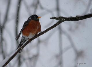 Merle surpris par la neige :)