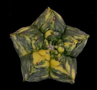 Astrophytum myriostigma cv. Kikko variegata